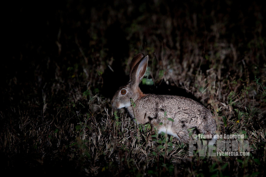 Scrub Hare (Lepus Saxatilis)..At night..June 2009, winter..Balule Private Nature Reserve, York section..Greater Kruger National Park, Limpopo, South Africa.