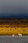 Chilean Flamingo (Phoenicopterus chilensis) flock, Torres del Paine National Park, Patagonia, Chile