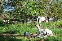 Tethered goats in farmyard in Corfu, , Greece