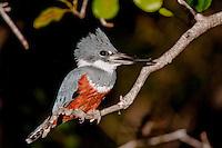 Ringed Kingfisher