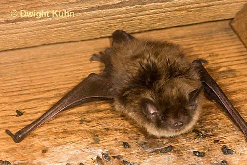 MA20-601z  Little Brown Bats, Myotis lucifugus