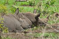 Witte neushoorn, breedlipneushoorn (Ceratotherium simum)