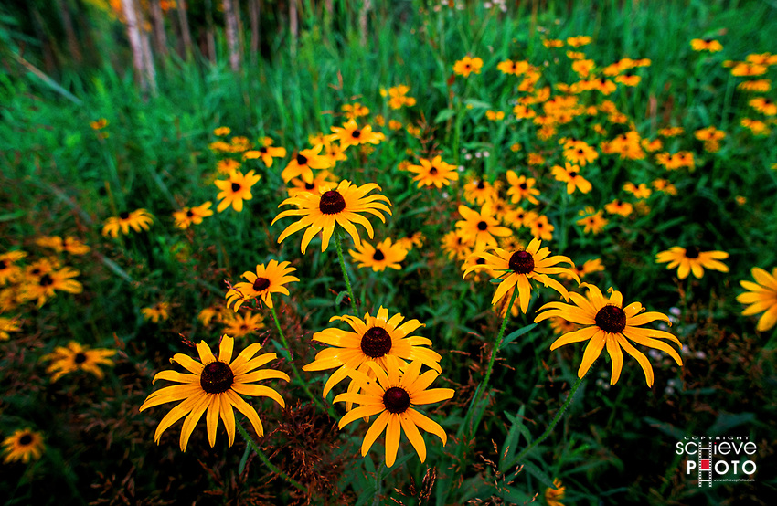 Wild Black-eyed Susans in the Chequamegon National Forest in northern Wisconsin.