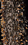 Monarch Butterflies gather on a tree trunk at El Rosario Monarch Butterfly Sanctuary in Michoacan, Mexico.