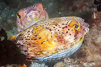 longspined porcupine fish, freckled porcupinefish, Diodon holocanthus, Philippines, Pacific Ocean