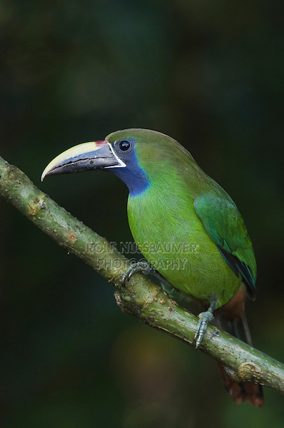 Emerald Toucanet, Aulachorynchus prasinus, adult perched, Central Valley, Costa Rica, Central America