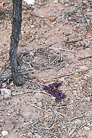 green-harvested grapes on the ground sandy soil brand gc turckheim alsace france
