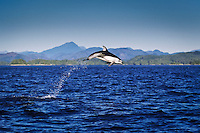 Pacific White-Sided Dolphin (Lagenorhynchus oblquidens) leaps high out of the water in Queen Charlotte Strait off northern Vancouver Island, British Columbia, Canada.