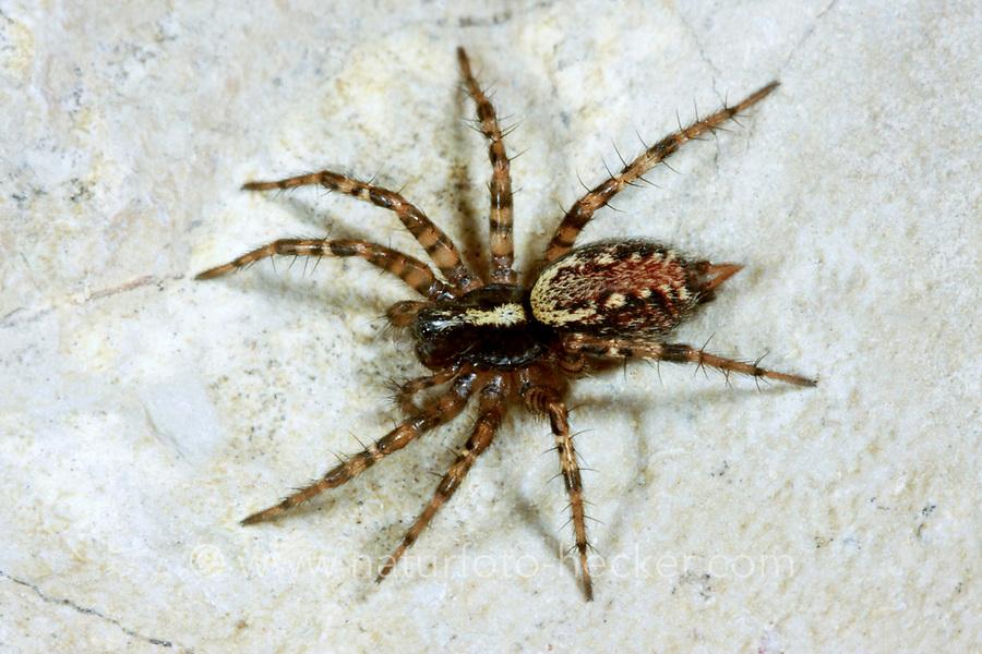 Trichterspinne, Textrix denticulata, toothed weaver, Agelenidae, Trichterspinnen, Funnel weavers