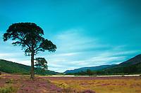 Scots Pine, Glen Feshie, Cairngorm National Park