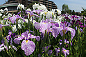 Colorful irises in full bloom at Horikiri Iris Garden