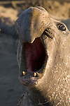 San Simeon, California; Northern Elephant Seal (Mirounga angustirostris), bull male vocalizing in the late afternoon