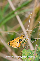 03694-00411 Fiery Skipper (Hylephila phyleus) in prairie, Marion Co.  IL
