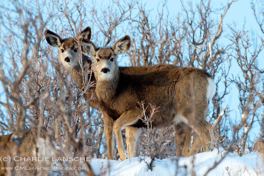 Young mule deer find comfort in the thick scrub oak on a sub-zero January morning in Summit County, Utah.