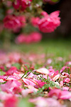 The Rose Garden at San Francisco's Golden Gate Park.