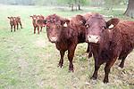 Red poll cattle grazing in a field near Sudbourne, Suffolk, England