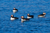 Atlantic puffin, or common puffin, Fratercula arctica, adult, during breeding season, Westfjords, or West Fjords, Iceland, Atlantic Ocean
