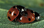 7 Spot Ladybird, coccinella septempunctata, adults mating, seven, red with black spots.United Kingdom....