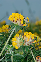 KIDNEY VETCH Anthyllis vulneraria (Fabaceae) Height to 30cm. Perennial covered in silky hairs. Found on calcareous grassland and coastal slopes. FLOWERS are yellow, orange or red; borne in paired, kidney-shaped heads, 3cm across (May-Sep). FRUITS are short pods. LEAVES comprise pairs of narrow leaflets, the terminal one being the largest. STATUS-Widespread and locally common.