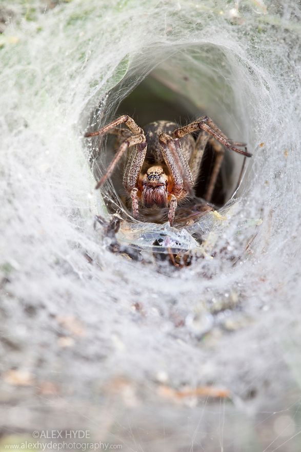Labyrinth spider {Agelena labyrinthica} waiting in funnel web for prey. Nordtirol, Tirol, Austrian Alps, Austria, 1700 metres altitude, July.