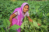 Vegetable farmer Savitri Devi, 60, a member of a Farmer's Producer Group, tends to her brinjal (eggplant) plants in her farm in Machahi village, Muzaffarpur, Bihar, India on October 26th, 2016. Non-profit organisation Technoserve works with women vegetable farmers in Muzaffarpur, providing technical support in forward linkage, streamlining their business models and linking them directly to an international market through Electronic Trading Platforms. Photograph by Suzanne Lee for Technoserve