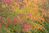 Dogwood and Sugar Maple in Autumn