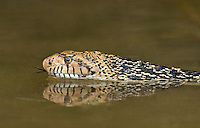 412850016 a wild bullsnake pituophis catenifer sayi swims and drinks in a small pond in the rio grande valley of south texas