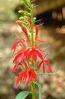 The cardinal flower is an extremely beautiful member of the lobelia family native to most of the United States (excluding the Pacific Northwest, the northern Rockies states, and the Dakotas) and Eastern Canada. It is primarily found in somewhat wet soils, near marshes, streams, rivers, floodplains etc. and is such a vibrant red that it is easily spotted from a distance. This particularly large plant stood about five foot tall, and even though I found it growing in a depression of a dried-up creek, it still stood tall in the forest near the Apalachicola River in the Florida Panhandle on a very hot and sweltering summer day.