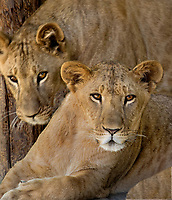 656250007 two african lion cubs panthera leo relax in their enclosure at a wildlife rescue facility  - animals are wildlife rescue animals  - species is native to subsaharan africa