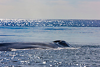 Blue Whale, gulf of california, Baja Mexico