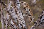 Botswana, Chobe National Park, Savuti, female leopard (Panthera pardus) descending from tree