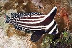 Equetus punctatus, Spotted drum, Florida Keys