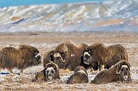 Musk Ox on Alaska's snowy Arctic Coastal Plain, Franklin Bluffs