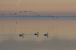 White pelicans at dusk at the Salton Sea.