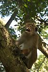 Le macaque à toque ou macaque couronné, Macaca sinica est une espèce de macaque qui ne vit que sur l'île de Ceylan