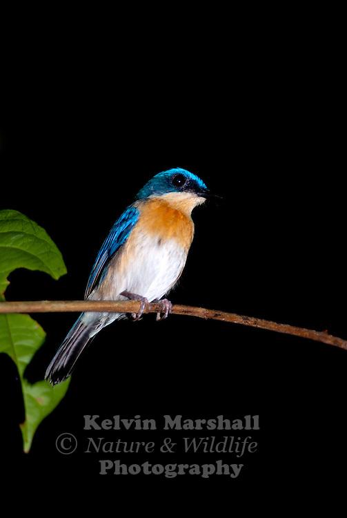 Female Malaysian Blue Flycatcher (Cyornis turcosus)