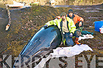 Efforts were undertaken by local fishermen to save the life of the Minke Whale which was beached at Blackwater pier last Friday. .L-R Mike Muller and Dominik Muller Tolk of Sneem who helped with rescue efforts.