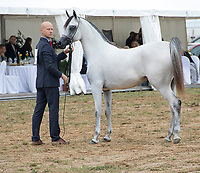 Arabian Horse and handler in the show ring at Arabian horse show in Prague 2017