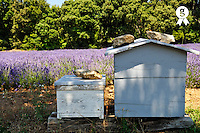 Two beehives by a lavender field, Provence, France (Licence this image exclusively with Getty: http://www.gettyimages.com/detail/107813394 )