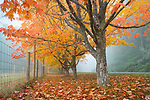 Vashon Island, Washington:<br /> Row of fall colored maple trees in fog