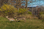White-tailed doe chasing another doe out of her territory.