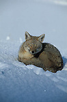 Adult Grey Fox curled up in ball on snowy slope, dozing .