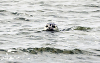 Robbe im Wasser an den Seehundbänken zwischen Langeoog und Spiekeroog - 16.08.2018: Fischfang und Rundfahrt von Neuharlingersiel