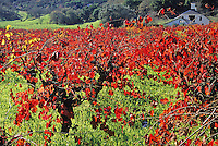 Grape vines in fall color in green field, Northern California wine country.