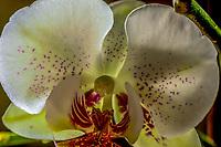 Phalaenopsis orchid detail, commonly known as the Moth Orchid