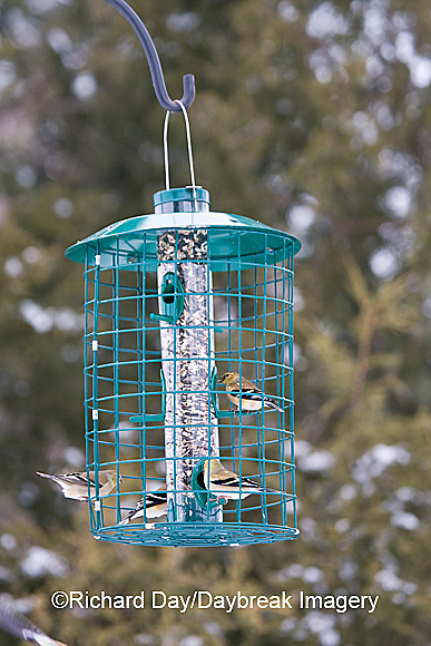 00585-036.15 American Goldfinches (Carduelis tristis)  at Squirrel proof feeder, Marion Co. IL