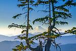 Two conifers on Austin Pass frame Mount Baker, Washington.