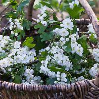 Weißdornblüten, Weißdorn-Blüten, Ernte, in einem Korb, Weißdorn, Weissdorn, Weiß-Dorn, Weiss-Dorn. Eingriffliger Weißdorn, Weissdorn, Weiß-Dorn, Weiss-Dorn, Crataegus monogyna, English Hawthorn, May, Aubépine monogyne