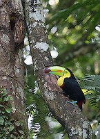 Normally I don't travel to areas where Keel-billed toucans are prevalent, so this sighting was a nice bonus.