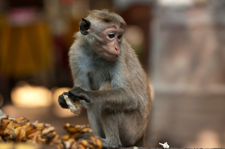 A juvenile toque macaque scavenges food left in the rubbish from a stall selling food, drinks and souvenirs. Archaeological reserve, Polonnaruwa, Sri Lanka. IUCN Red List Classification: Endangered